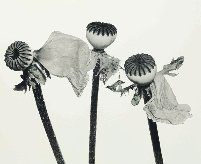 「Single Oriental Poppy」Irving Penn | © The Irving Penn Foundation_2