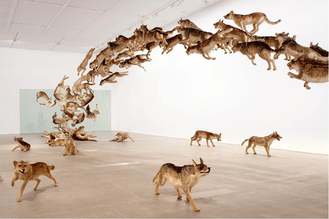 《壁撞き》2006年、 狼のレプリカ(99体)・ガラス、 サイズ可変、ドイツ銀行によるコミッション・ワーク The Deutsche Bank Collection | Photo by Jon Linkins, courtesy: Queensland Art Gallery | Gallery of Modern Art