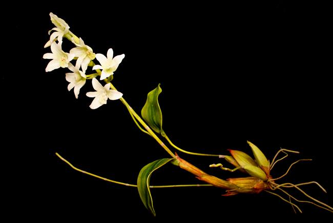 クリス・チョン・チャン・フイ 《END74 Pholidota sigmatochilus》 「固有種」シリーズより、2015