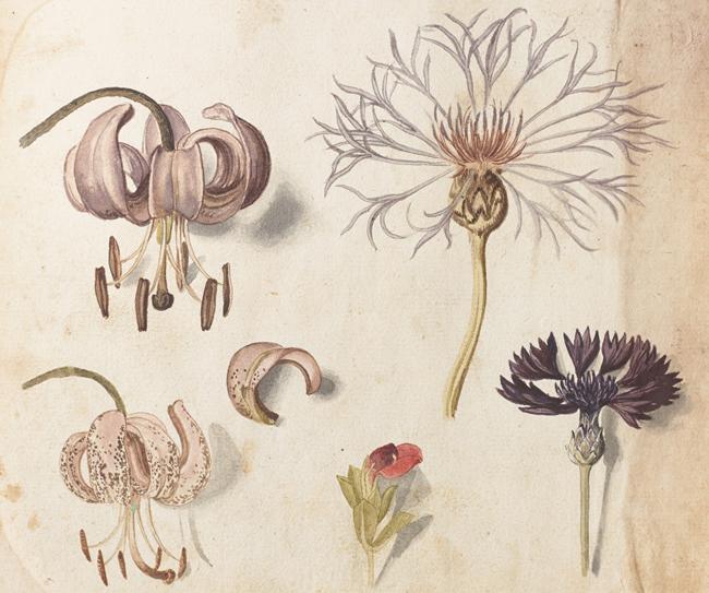 セバスチャン・シューデル《マルタゴン・リリー(ユリ科)とクロアザミ(キク科)、他》(『カレンダリウム』より) 17世紀初頭、キュー王立植物園蔵 © The Board of Trustees of the Royal Botanic Gardens, Kew