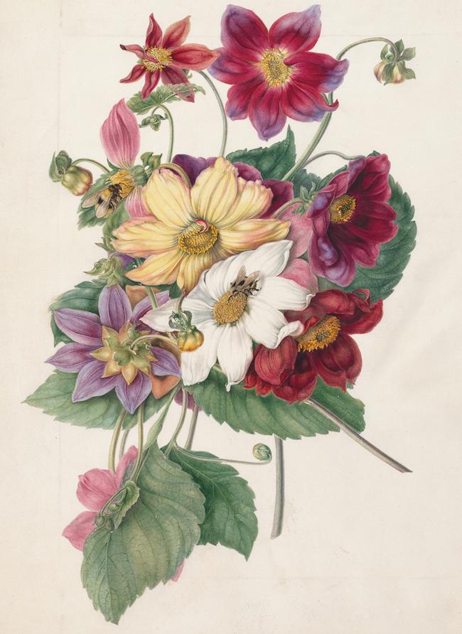 マーガレット・ミーン《ダリア属(キク科)》1790年頃、キュー王立植物園蔵 © The Board of Trustees of the Royal Botanic Gardens, Kew