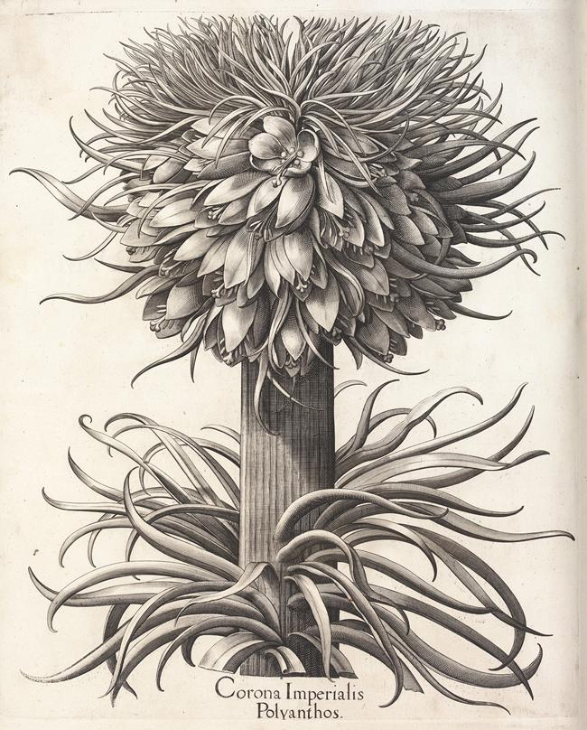 バシリウス・ベスラーの委託による《オオカンユリ》(ユリ科)(『アイヒシュテット庭園植物誌』より)1613年、 キュー王立植物園蔵 © The Board of Trustees of the Royal Botanic Gardens, Kew