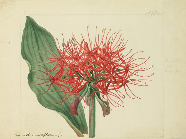 シデナム・ティースト・エドワーズ《センコウハナビ(ヒガンバナ科)》1818年、キュー王立植物園蔵 © The Board of Trustees of the Royal Botanic Gardens, Kew